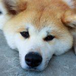 海外で人気の日本犬