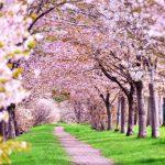さくら名所100選 静内二十間道路桜並木【北海道】