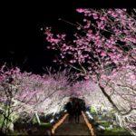 沖縄今帰仁城桜祭り